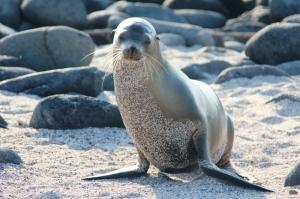 Sandy Sea Lion 2-22-2013