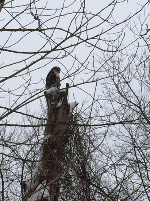 Hawk in the park 1-27-15