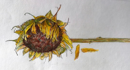 sunflower-past-its-prime